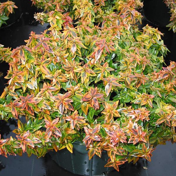 Abelia x grandiflora 'Kaliedoscope'