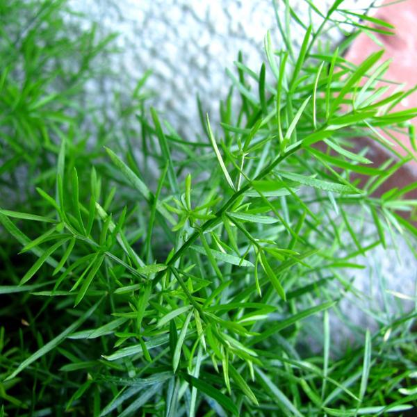 Asparagus umbellatus
