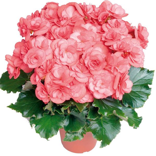 Begonia elatior-Hybrid.