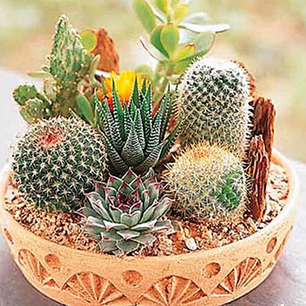 Cactaceae mini