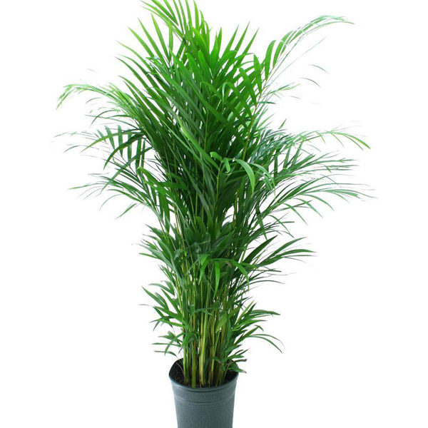 Chrysalidocarpus lutescens(Areca)
