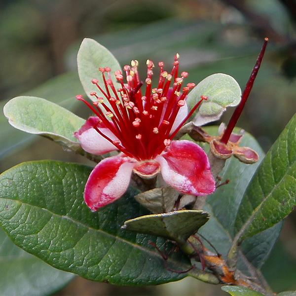 Feijoa sellowiana (Acca sellowiana)