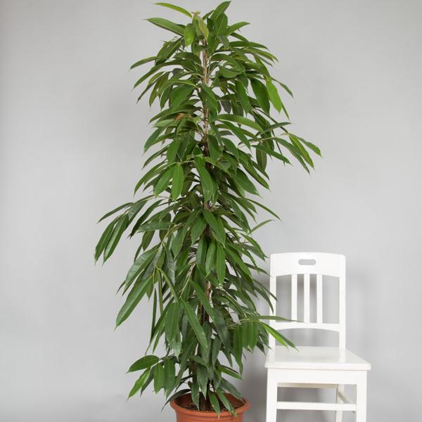 Ficus Binnendijiki 'Amstel King'