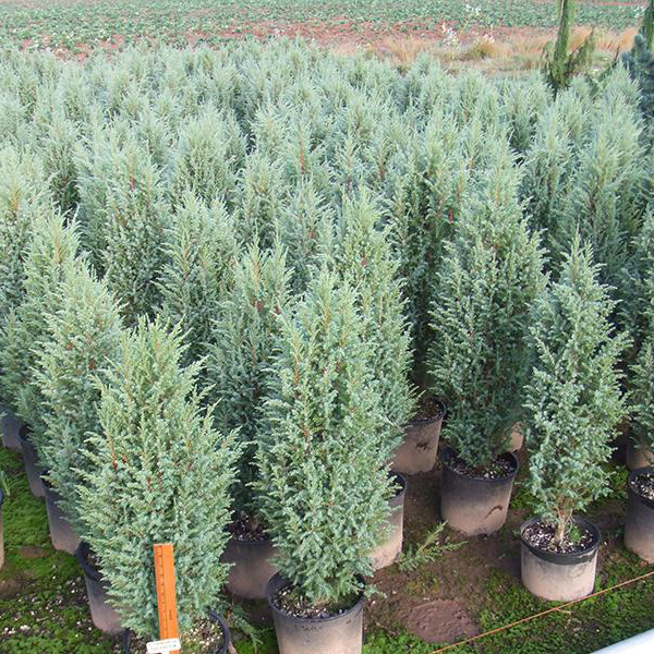 Juniperus virginiana 'Skyrocket'